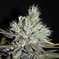 Sweet 'n Sour Widow CBD Regular Seeds
