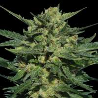 White Russian Auto Feminised Seeds