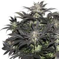 Lava Freeze Feminised Seeds
