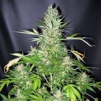 Master Kush x Skunk Regular Seeds