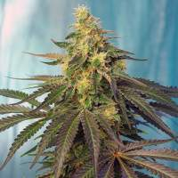 Cream Caramel CBD Feminised Seeds