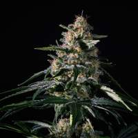 Nightingale (NN - 1) Feminised Seeds