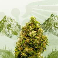 Swiss Dream CBD Feminised Seeds