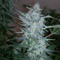 White Sirius Auto Regular Seeds