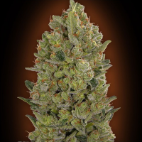 00 Cheese Feminised Seeds