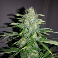 White Widow x Big Bud Auto Feminised Seeds