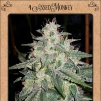 4 Assed Monkey Auto Feminised Seeds