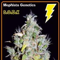 S.O.D.K Auto Feminised Seeds