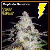 Toof decay Auto Feminised Seeds