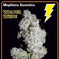 Walter White Auto Feminised Seeds