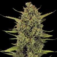 Acapulco Gold Feminised Seeds