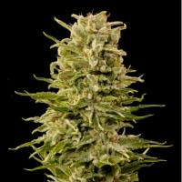 A K  Auto  Feminised  Cannabis  Seeds  Jpg