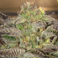 Accord Feminised Seeds