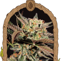 Amnesia #7 Feminised Seeds