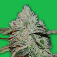 Atomic Feminised Seeds