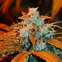 Auto  Blueberry  G13  Labs  Cannabis  Seeds  Jpg