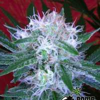 Bomb Auto Feminised Seeds