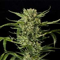 Mass Auto Feminised Seeds