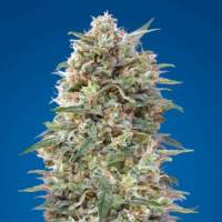 Auto California Kush Feminised Seeds
