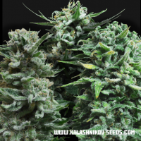 Autoflowering Mix Feminised seeds