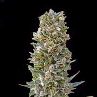 Automatik  Mix  Auto  Feminised  Cannabis  Seeds