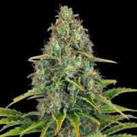 Blueberry Cheese (Blue Cheese) AUTO  Feminised Seeds