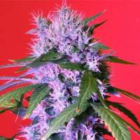 Berry Bomb Feminised Seeds