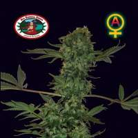 Big Buddha Cheese Auto Feminised Seeds