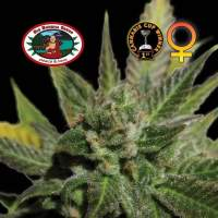 Big Buddha Cheese Feminised Seeds