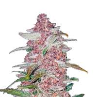 Blackberry Autoflowering Feminised Seeds
