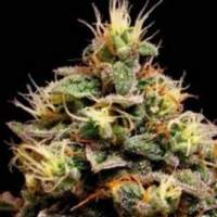 Kabrales Automatic Feminised Seeds