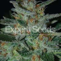 Blue  Cheese  Feminised  Cannabis  Seeds  Jpg