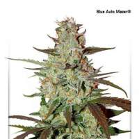 Blue Mazar Auto Feminised Seeds