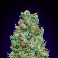 Blueberry Auto Feminised Seeds