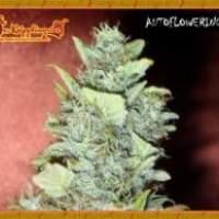 Bubba  Gum  Auto  Feminised  Cannabis  Seeds  Jpg