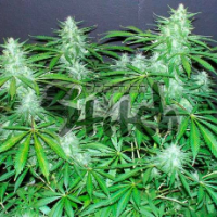 Bubble Hash SuperAuto Feminised Seeds