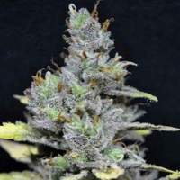 CBD Medi Haze Feminised Seeds