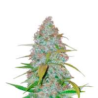 Californian Snow Autoflowering Feminised Seeds