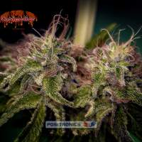 Caramel Ice Feminised Seeds