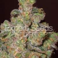 Cheese  Feminised  Cannabis  Seeds  Jpg