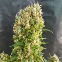 Chemdog Gorilla Feminised Seeds