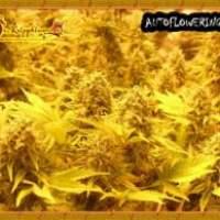 Choc  Auto  Feminised  Cannabis  Seeds  Jpg