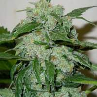 Chronic  Ryder  Auto  Feminised  Cannabis  Seeds  Jpg