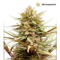 ComPassion CBD Feminised Seeds