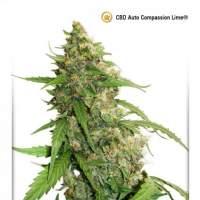 Compassion  Lime  C B D  Auto  Feminised  Cannabis  Seeds  Jpg