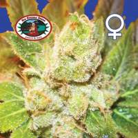 Cookies & Cream Cheese Feminised Seeds