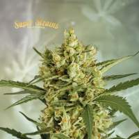 Crackers Feminised Seeds