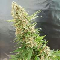 Critical Gorilla Feminised Seeds