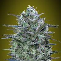 Critical  Lemon  Feminised  Cannabis  Seeds