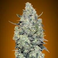 Critical  Mass  Auto  Feminised  Cannabis  Seeds